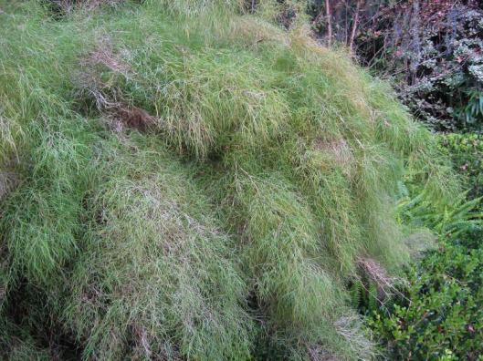 Muhlenbergia dumosa_bamboo_muhly_deer_proof_resistant_tolerant_waterwise_drought