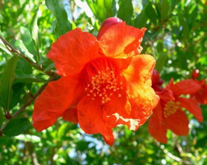 Punica granatum_pomegranate_best_edible_trees_for_texas_austin_landscaper_design