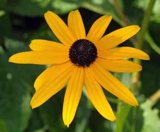 Rudbeckia fulgida var. sullivantii_Black-eyed_Susan_Austin_Deer_resistant_plant_Waterwise