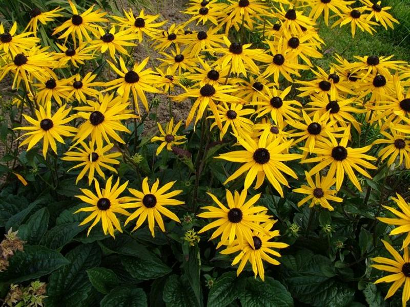 Rudbeckia fulgida var. sullivantii_Black-eyed_Susan_Austin_Native_Plants_Texas_Waterwise