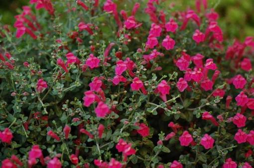 Scutellaria suffrutescens_Pink_skullcap_Austin_native_landscaping_Design