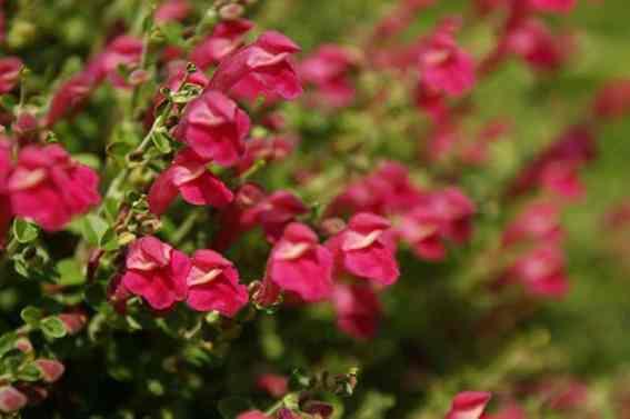 Scutellaria suffrutescens_Pink_skullcap_austin_native_plants_texas_drougth
