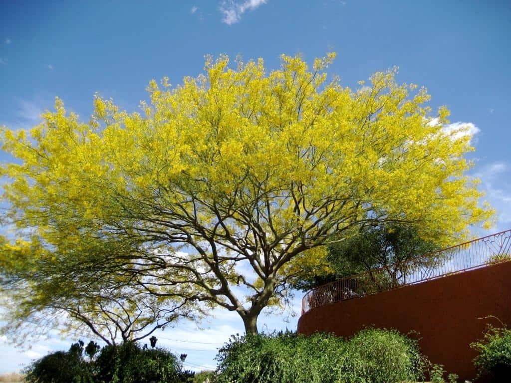 Parkinsonia-aculeata-Retama-Palo-Verde-Jerusalem-Thorn-Horse-Bean-Lluvia-de-Oro-Landscaping