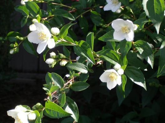 Philadelphus-coronarius-Sweet-Mock-Orange-English-Dogwood-Drought-Tolerant-Landscaping
