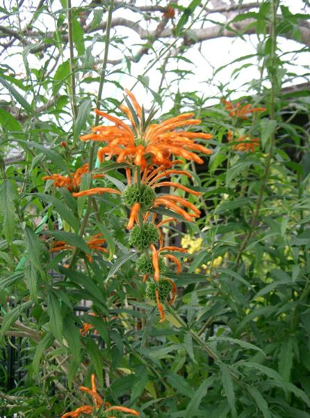 Leonotis_leonuru _Lions_Tail_Wild_Dagga_Lions_Ear_Water_Wise_Plants_For_Texas