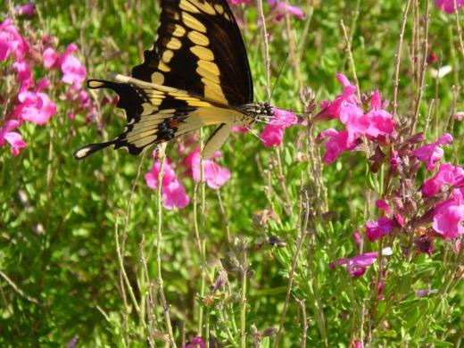 Salvia greggii with monarch butterfly