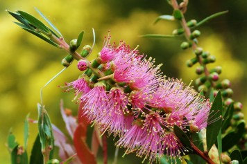 """Callistemon tinaroo x salignus"" by Jo-Anne Dickinson"