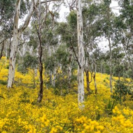 """Acacia at Whistlepipe Gully, Kalamunda WA"" by Jacilyn Sanford"