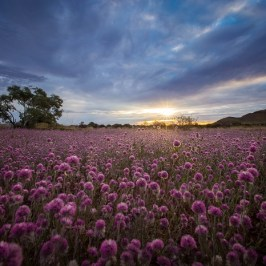 """Ptilotus at Karijini National Park WA"" by Brad Leue"