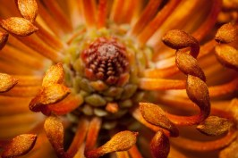 """Banksia spinulosa"" by Neil Hoy"