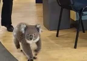 Australia Koala pharmacy - 澳洲留學網 - 傑瑞斯留遊學代辦 JRIS (2)