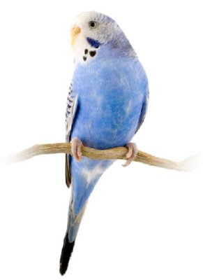 Blue Budgie Abbott