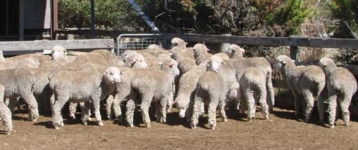ABC rural sheep photo_edited-1