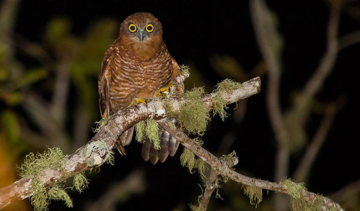 Australian owls