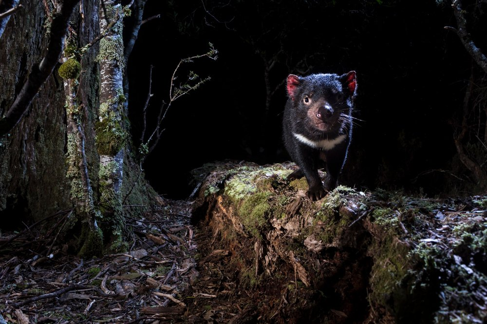 wildlife photography camera trapping