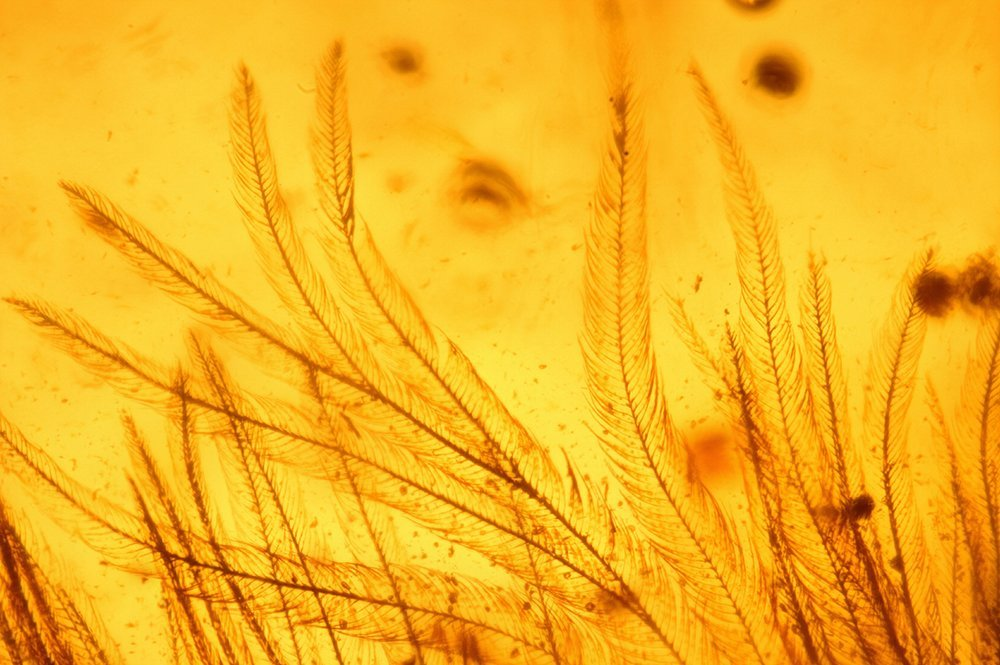 Microscopic detail of dinosaur feather barbs and barbules preserved in amber.