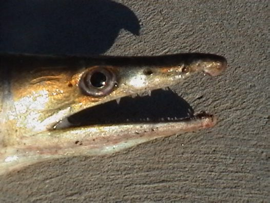 Head of a Common Pike Eel caught at Lake Curalo by © Ian Merrington @ DPI Fisheries