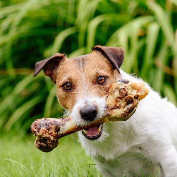 Lamb Shank Bones with dog