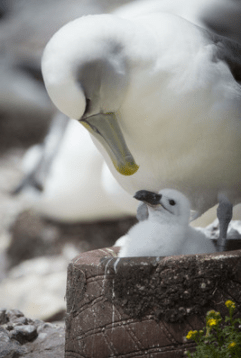 Valentine's Day arrives early for Tasmania's Lovebirds the Monogamous Albatross