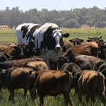 How did Knickers the Giant Cow Become so Huge?