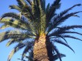 Palm Tree in California