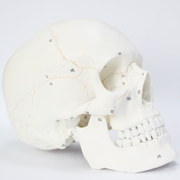 Human Skull Model for Anatomy, Life Size Numbered Medical Anatomical Adult Male Plastic Skull 1