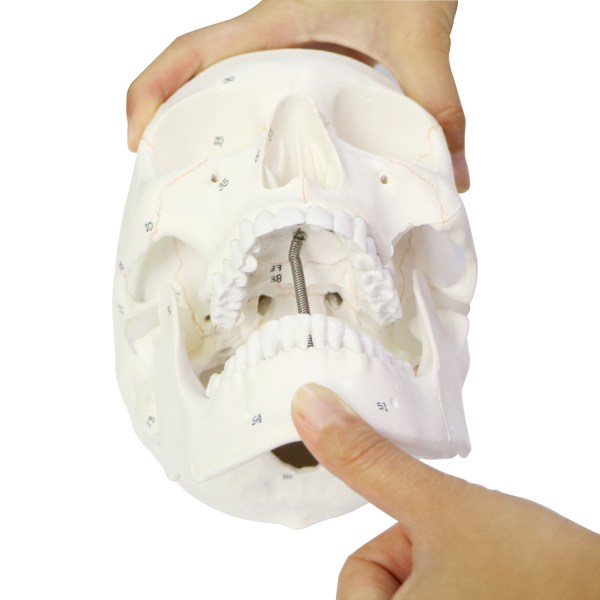 Human Skull Model for Anatomy, Life Size Numbered Medical Anatomical Adult Male Plastic Skull 7