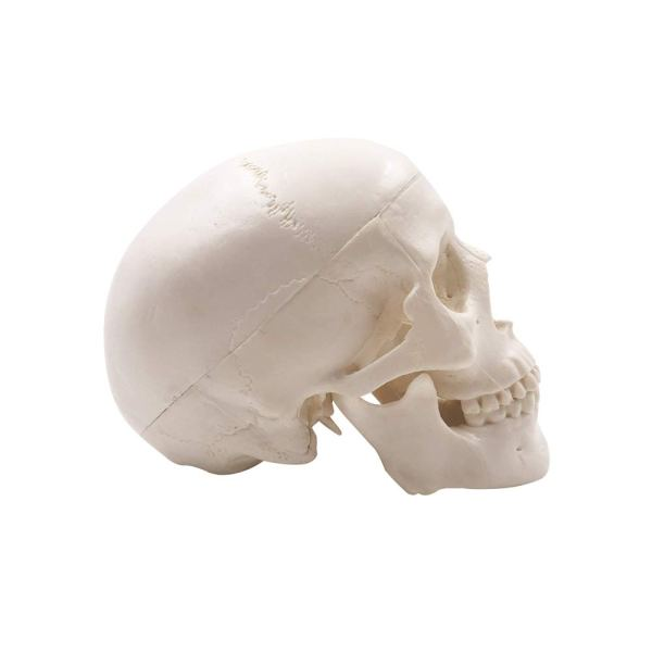 Mini Human Skull Model, Palm-Sized Desktop Skull 3.9 x 2.7 x 3.1 Inch with Removable Cap and Jaw Moveable 4