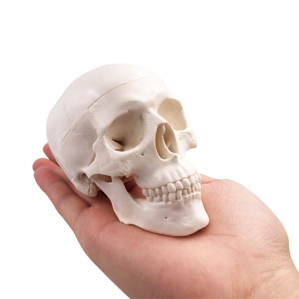 Mini Human Skull Model, Palm-Sized Desktop Skull 3.9 x 2.7 x 3.1 Inch with Removable Cap and Jaw Moveable 1