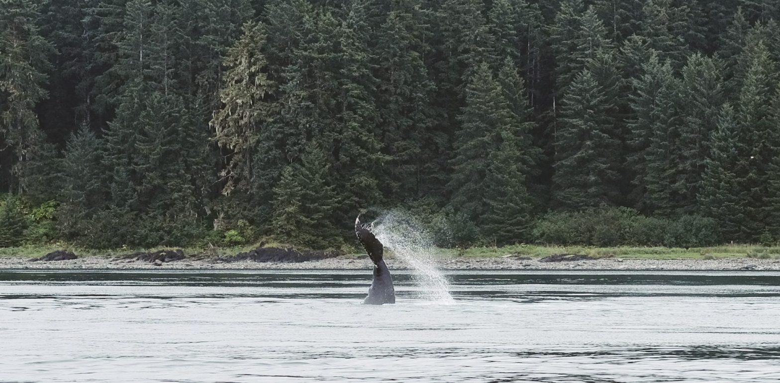 Whales in Glacier Bay Boat Tour