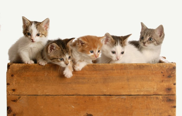 litter of five kittens in a wooden box on white background
