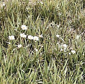 Mari Sandoz - Nebraska wildflowers