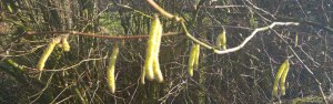 photo of branch of catkins in spring sunshine