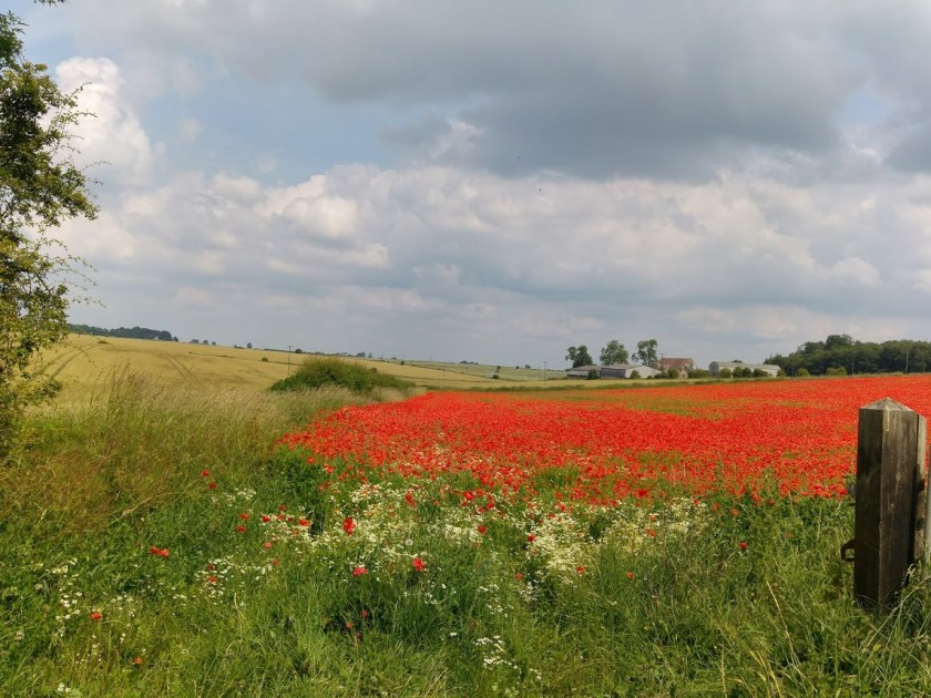 View of wheatfield full of poppies