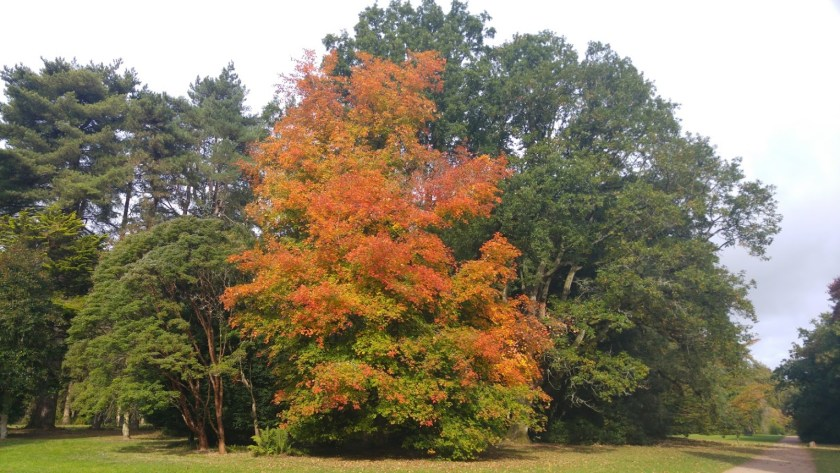 a tree with leaves turned the colours of flame