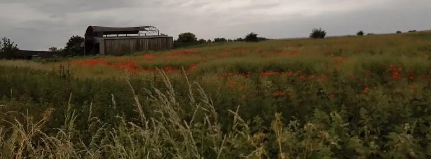 poppies in a Hawkesbury field