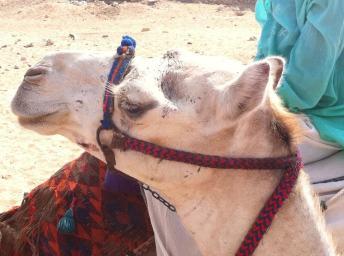 my camel barbara