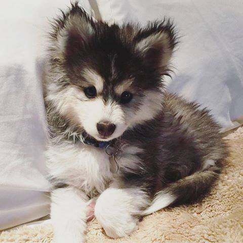pomsky puppy for fun photo friday
