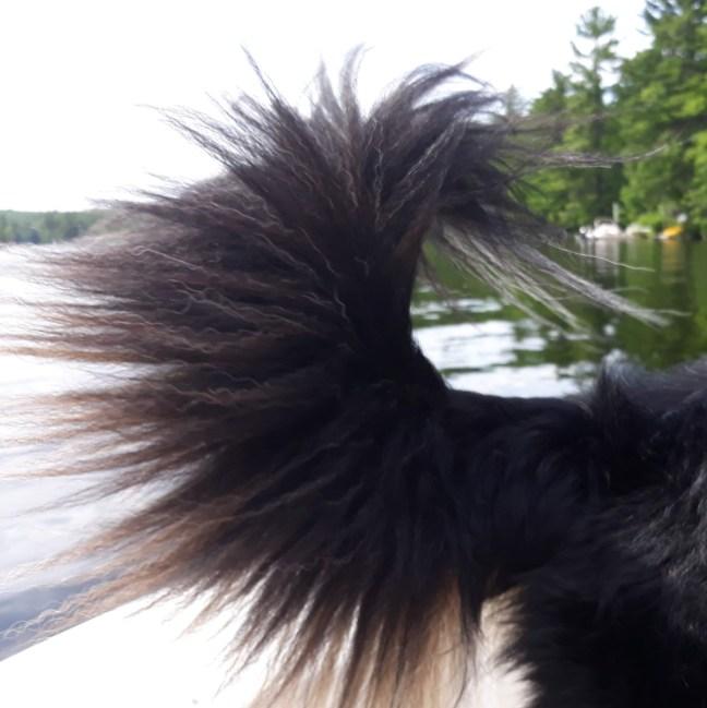 black dog tail fan