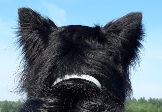 black dog head from back with ear feathers