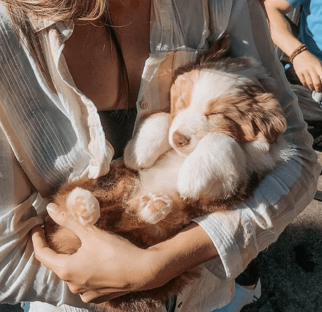 tan and white australian shepherd puppy