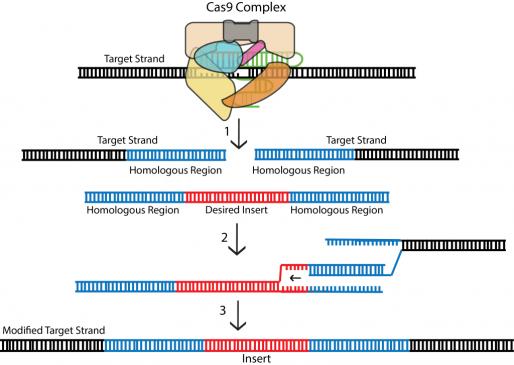 CRISPR - homology directed repair