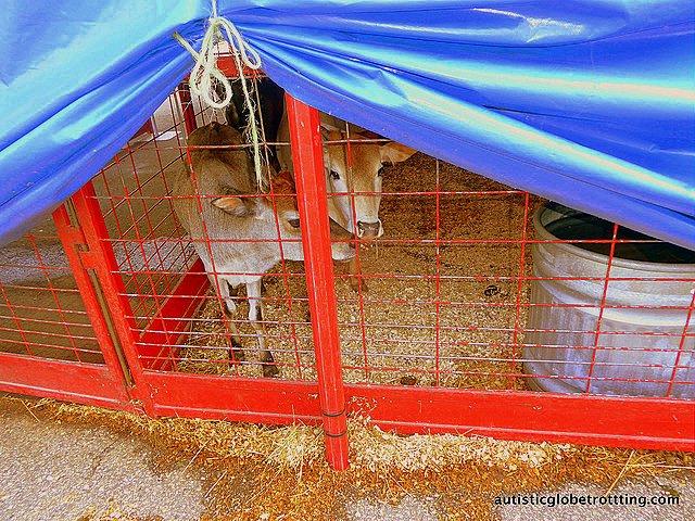 Family Fun at Baraboo's Circus World Museum goat