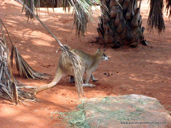 Family Friendly Aussie Experiences to Enjoy in Sydney kangaroo