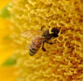abeja libando