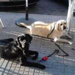 A la policía local de Gandía (Valencia) no le gustan los perros de asistencia en la especialidad de Autismo