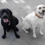 Perros de Asistencia para niños con Autismo