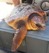 Tortuga Boba que perdió una aleta por culpa de la contaminación. Fue liberada tras sanar en una playa de Tenerife. Foto: Autismo Diario