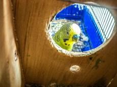 parrots-748781_1920