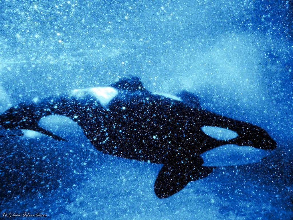 Latest Orca Wallpapers Wallpaper Cave Free Download
